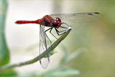 0142 Red Dragonfly by RealMantis