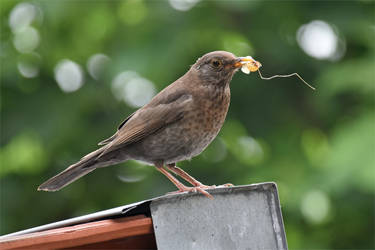 0874 Female Blackbird by RealMantis