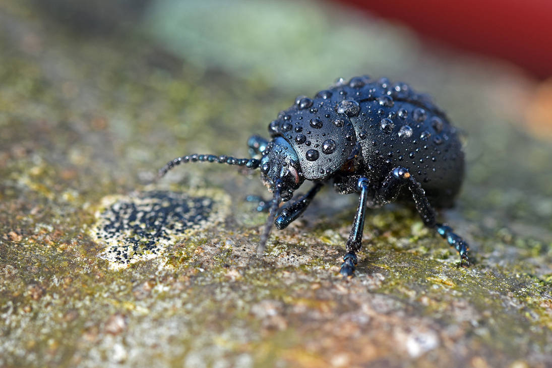 8116 Black beetle covered by rain by RealMantis