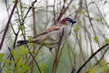 7507 Sparrow by RealMantis