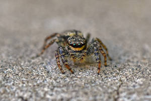 8867 Jumping Spider by RealMantis