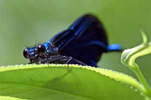 0256 Blue Damselfly on a leaf by RealMantis