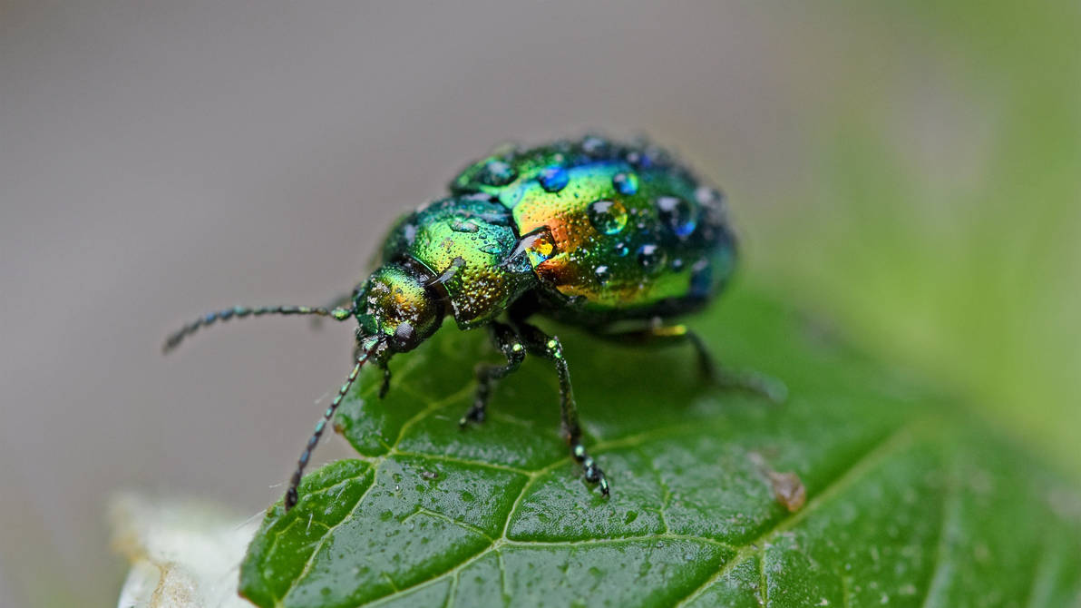 0542 Colorful beetle under the rain by RealMantis