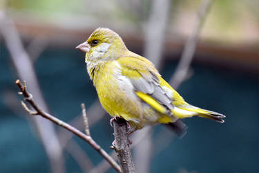 0506 Greenfinch by RealMantis