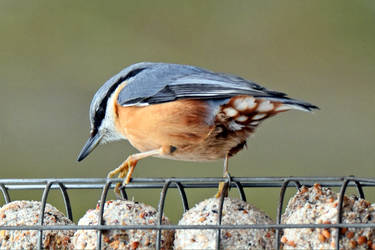 0609 Eurasian Nuthatch by RealMantis