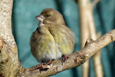 3815 Fluffy bird by RealMantis