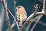 0361 Greenfinch by RealMantis