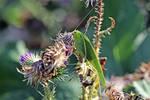 0099 Big green grasshopper by RealMantis