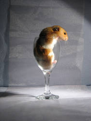 Hamster 13 by eldris-stock