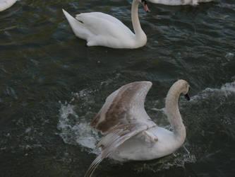 Swan 30 by eldris-stock