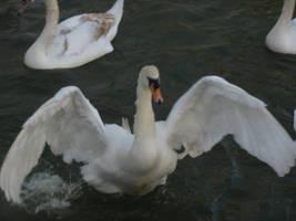 Swan 34 by eldris-stock