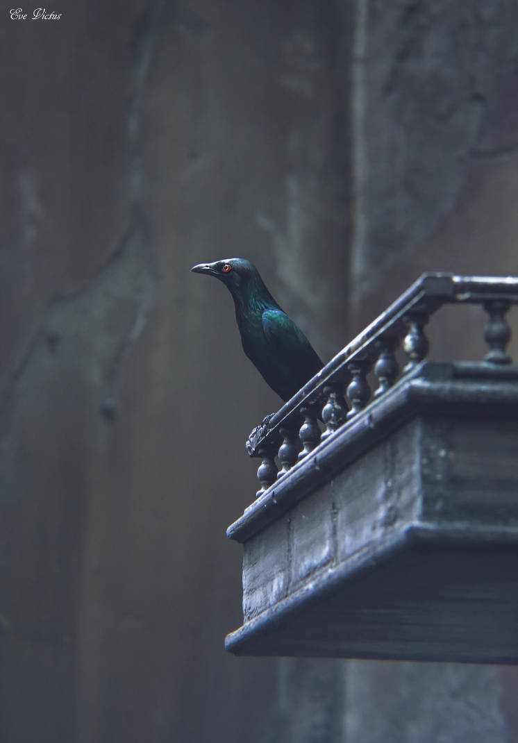 Metallic Starling by EveVictus