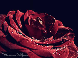velvety rose by Marianna9
