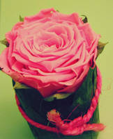 Little pink rose by Marianna9
