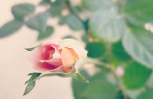 Tender petals by Marianna9