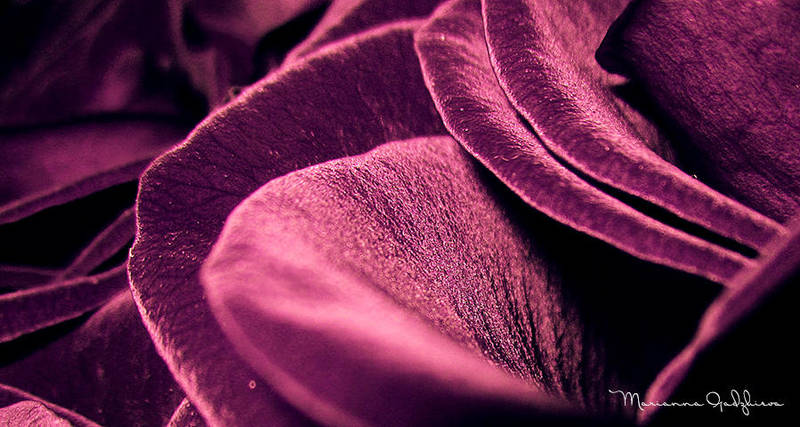 Purple Petals by Marianna9
