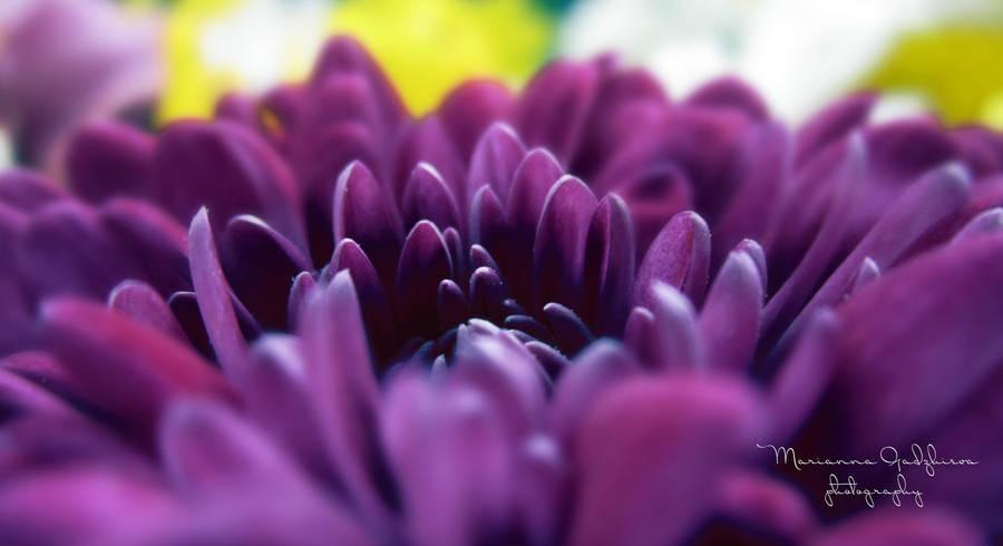 Chrysanthemum by Marianna9