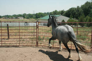 Blue Roan Stock 69 by tragedyseen