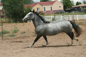 Blue Roan Stock 82 by tragedyseen