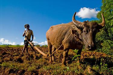 Working Buffalo - Myanmar by sevenths
