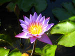 water lily bali by fa-stock