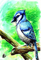 Blue Jay Water Color for my Grandmother by Barnlord