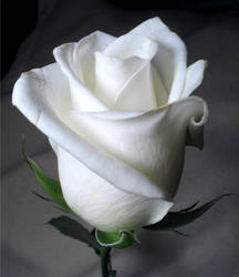 white rose by twofuzzysumos