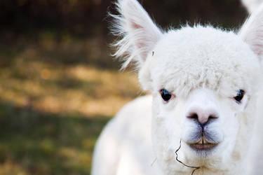Alpaca by kinderschar