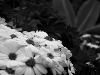 BW daisys by infra666