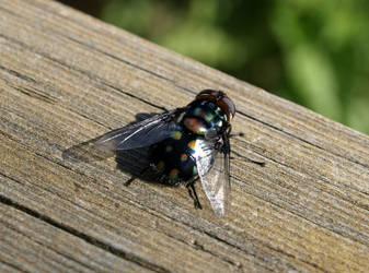 shiny fly by infra666
