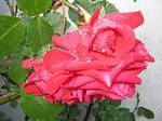 Roses in my garden 11 by artsoni