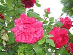 Roses in my garden 10 by artsoni