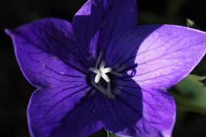Purple flower by JetteReitsma