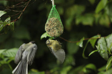 Tomtit approaching Blue-tit, both juvenile by JetteReitsma