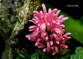 Pink explosion by gigi50