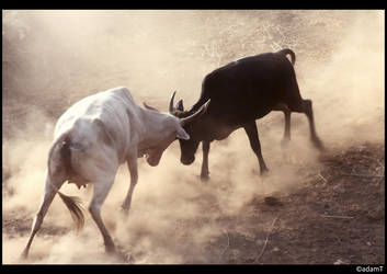 Cow Fight by jadedPhotographer