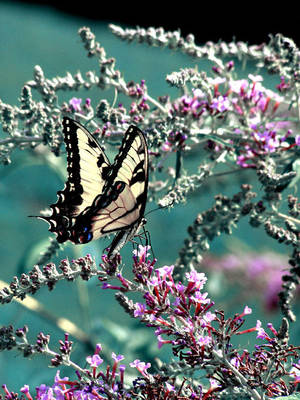 Swallowtail by photodust