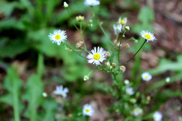 Fleabane Daisy Two by Crunchycard