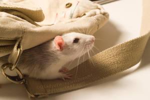 Kip-Kip - the curious rat by LadyofWinglessDreams