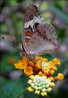 Junonia coenia by AForAdultery