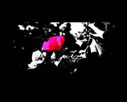 Pas une Rose, rose by LeWelsch