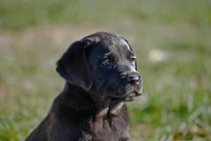 Labrador by izoard781
