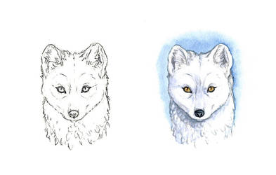 . Artic fox . by Maiwenn