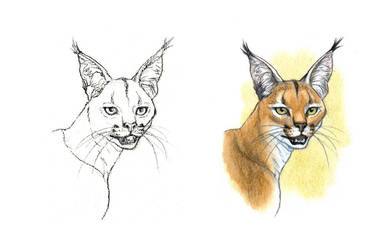 . Caracal . by Maiwenn