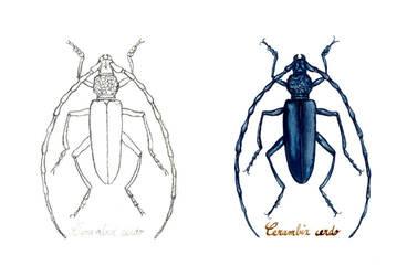 . Great capricorn beetle . by Maiwenn
