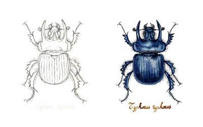 . Minotaur beetle . by Maiwenn