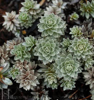 Succulent by Sato-photography