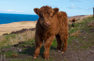 Highland Cow Calf by Sato-photography