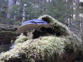 Shelf Fungus of Large Size by askoi
