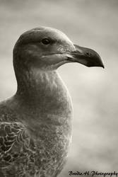 Mrs Gull by Photogriff